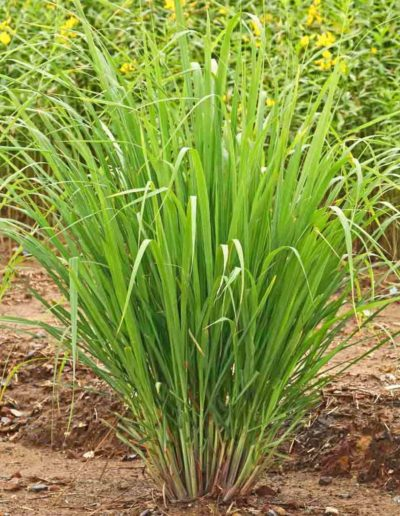 Lemongrass Inhaltsstoff Herbix Kräuteröl